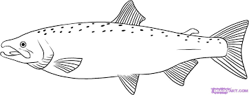 how to draw a salmon step 6 | Salmon drawing, Fish drawings, Fish coloring  page